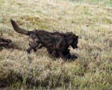 Canyon Wolves Fighting Over the Carcass.jpg