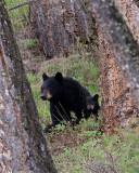 Black Bear with Cub.jpg