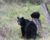 Black Bear with cub on stump.jpg