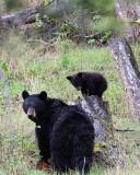 Black Bear with Cub on a Stump.jpg