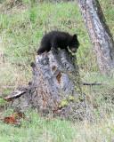 Black Bear Cub on a Stump.jpg