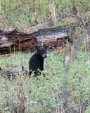 Black Bear Cub in the Woods.jpg