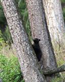 Black Bear Cub Climbing a Tree.jpg