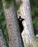 Black Bear Cub in a Tree.jpg
