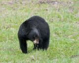 Black Bear in the Grass.jpg