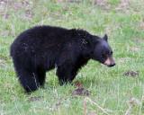 Black Bear Near Rainy Lake.jpg