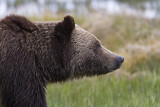 Grizzly Bear Profile.jpg