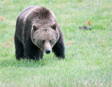 Grizzly Near Norris Campground.jpg