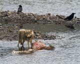 Lamar Canyon Wolf on an Elk Carcass in the River.jpg