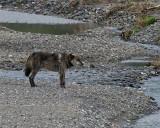 Lamar Canyon Wolf at the River.jpg