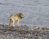 Grey Lamar Canyon Wolf by the Lamar River.jpg
