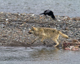 Lamar Canyon Wolf Lunging at a Raven.jpg
