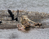 Lamar Canyon Gray Chasing Off Ravens.jpg