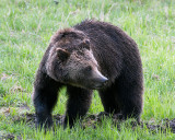 Grizzly at Obsidian Creek.jpg