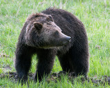 Grizzly at Obsidian Digging for Ground Squirrels.jpg