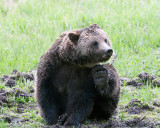 Grizzly at Obsidian Scratching Himself.jpg