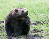 Grizzly Scratching.jpg