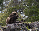 Grizzly at Icebox Canyon Scratching.jpg