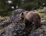 Icebox Canyon Grizzly on the Ridge.jpg