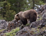 Icebox Canyon Grizzly on the Rocks.jpg