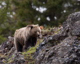 Icebox Canyon Grizzly.jpg