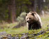 Icebox Canyon Grizzly Bear Coming Over the Hill.jpg