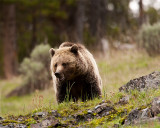 Grizzly at Icebox Canyon.jpg