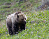 Grizzly on the Hillside at Icebox Canyon.jpg