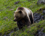 Icebox Canyon Grizzly on the Hill.jpg