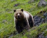Icebox Canyon Grizzly Bear.jpg