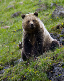 Icebox Canyon Grizzly Sitting Down.jpg