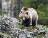 Grizzly at Icebox Canyon on the Rocks.jpg