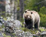 Grizzly Bear on the Hill at Icebox Canyon.jpg