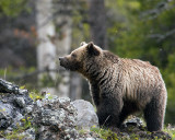Icebox Canyon Grizzly Sniffing at Snowflakes.jpg