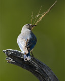 Mountain Bluebird with Nesting Material.jpg