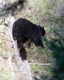 Black Bear Family Getting Off of Log.jpg