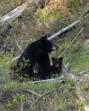 Black Bear Mom with Cubs.jpg