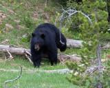 Black Bear Stepping Over a Log.jpg