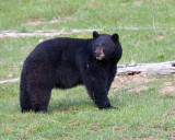 Black Bear Looking Over His Shoulder.jpg