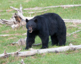 Black Bear Among the Deadwood.jpg