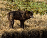 Black Wolf on the Bank of the Creek.jpg