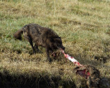 Black Wolf Pulling the Elk Carcass Away from Alum Creek.jpg