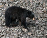 Black Bear Walking on the Scree.jpg
