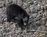 Black Bear Walking on the Rocks.jpg
