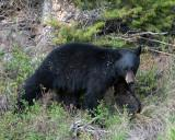Black Bear in the Brush.jpg