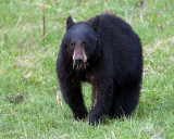 Black Bear with a Mouthful.jpg