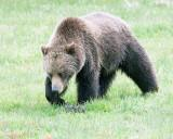 Grizzly Bear Near Norris Campground.jpg