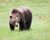 Norris Campground Bear.jpg