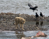 Lamar Canyon Wolf on the Kill in the Lamar River with Ravens.jpg