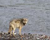 Wolf by the River.jpg